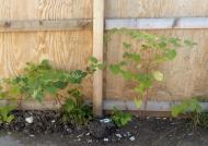 Knotweed by fence